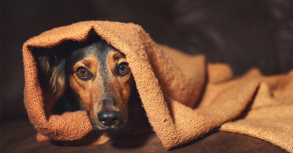 Hundarna tvingas ta lugnande pa nyar