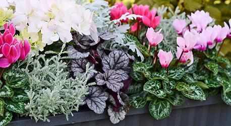 plantera hortensia ute