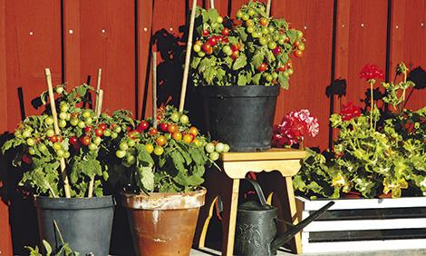 plantera tomatfrön